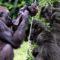 """Cum percep animalele moartea Gorilele își """"plâng"""" semenii decedați featured.fw_compressed"""