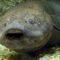 Dipnoiul african, peștele care doarme 5 ani, fără mâncare sau apă featured.fw_compressed