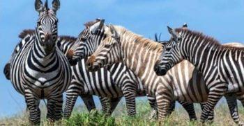 """O zebră """"blondă"""" extrem de rară a fost fotografiată în sălbăticie"""