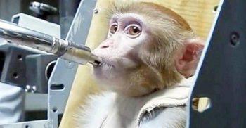 """Savanții chinezi au creat maimuțe """"mai inteligente"""" inoculându-le ADN uman"""
