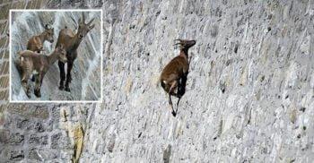 Caprele ce sfidează moartea escaladând zidurile barajelor ca să lingă sare