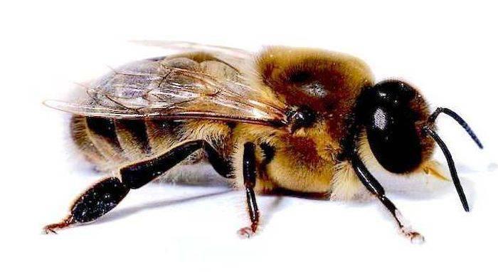 Curiozitati despre albine 02