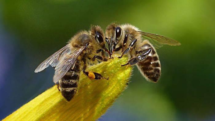 Dansul albinelor