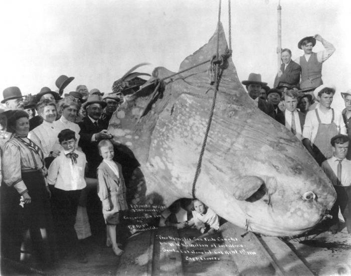 peștele mola mola