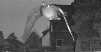 Un porumbel a declanșat camera poliției din Germania, zburând peste limita de viteză