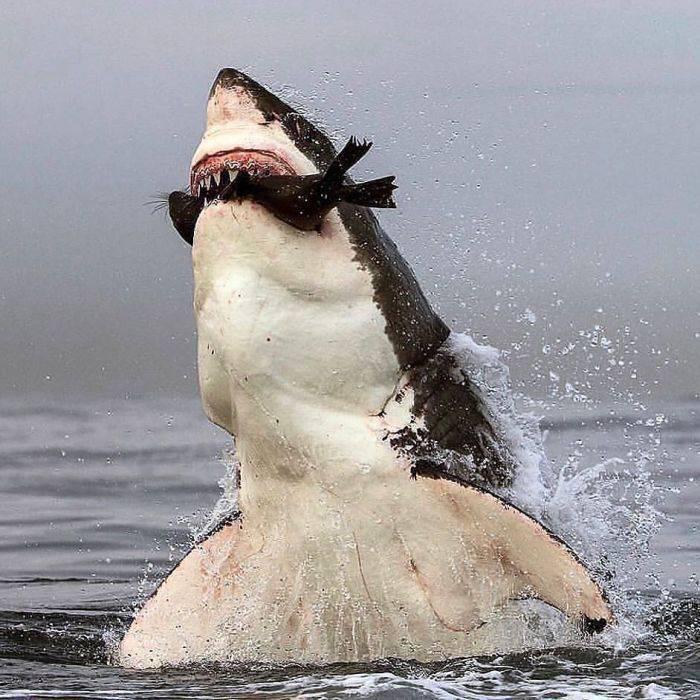 curiozități despre rechini