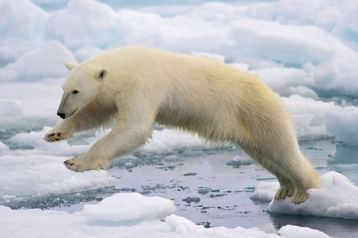 curiozități despre urșii polari