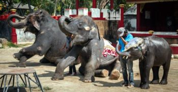Forțat să danseze zilnic la un zoo din Thailanda, un pui de elefant și-a rupt picioarele și a murit