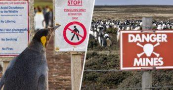 Greu de ucis: Pinguinii care trăiesc pe câmpurile minate din Insulele Falkland