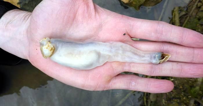Lithoredo abatanica, moluștele care mănâncă piatră și excretează nisip FEATURED_compressed