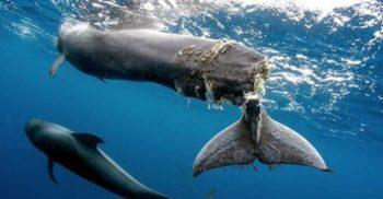 Un pui de balenă a fost eutanasiat după ce elicea unei bărci i-a tăiat coada