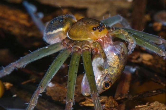 curiozități despre păianjeni