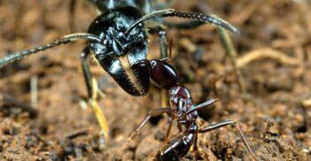 Furnicile Matabele, insectele care își tratează camarazii răniți în luptă