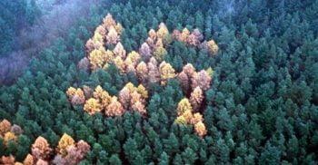 Misterul svasticilor din pădure, simboluri vii uriașe, create din copaci