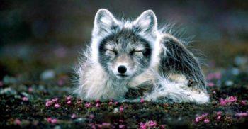 O vulpe polară a mers 4.400 de kilometri, din Norvegia până în Canada, în patru luni