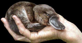Ornitorincul, animalul despre care zoologii credeau că e o farsă