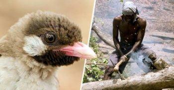 Pasărea de miere din Africa, animalul care i-a dresat pe oameni