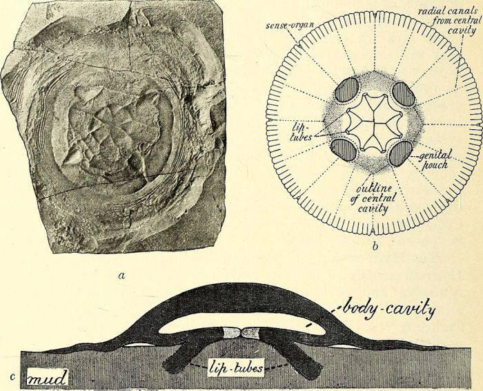 Meduza nemuritoare Turritopsis Dohrnii