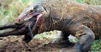 5 adevăruri surprinzătoare despre dragonii de Komodo