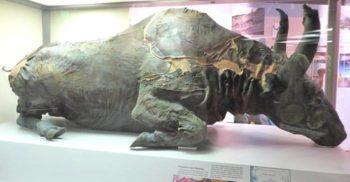 Blue Babe, bizonul de 36.000 de ani din care au făcut tocană
