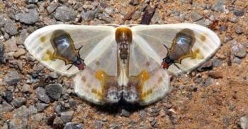 Cel mai mare maestru al camuflajului: Molia Macrocilix maia