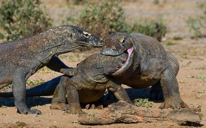 Cele mai periculoase soparle - Dragonul de Komodo