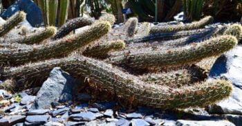 """Diavolul târâtor, cactusul care se """"plimbă"""" prin deșert"""