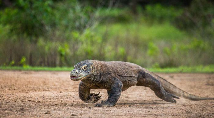Dragonul de Komodo fugind