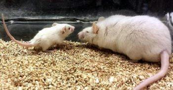 Experiment biologic pe șobolani: Transfuziile cu sânge tânăr încetinesc îmbătrânirea