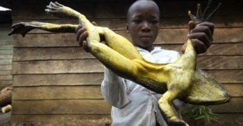 Goliat, cea mai mare broască din lume, își face cuib mutând bolovani de 2 kilograme