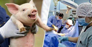 """Inimile crescute în porci ar putea fi transplantate oamenilor """"peste trei ani"""""""