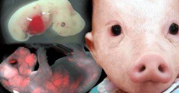 Japonia aprobă un experiment revoluționar: aducerea pe lume a hibrizilor om-animal
