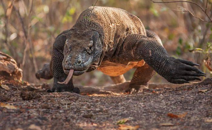 dragonii de Komodo