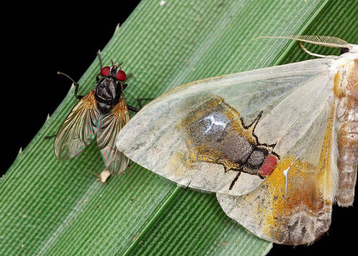 molia Macrocilix maia
