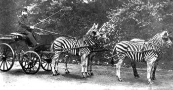 10 curiozități despre zebre, animalele-emblemă ale Africii