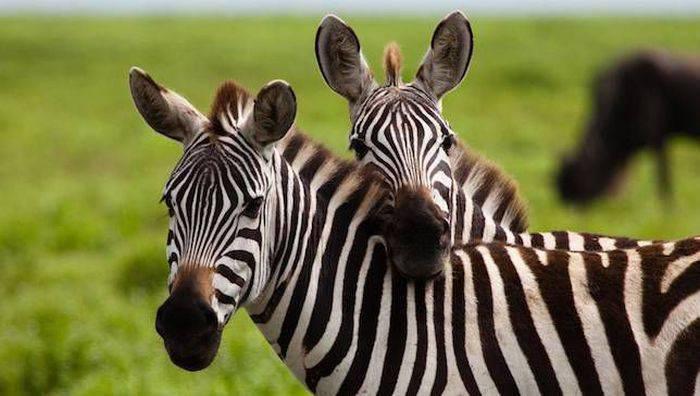 Curiozitati despre zebre 02
