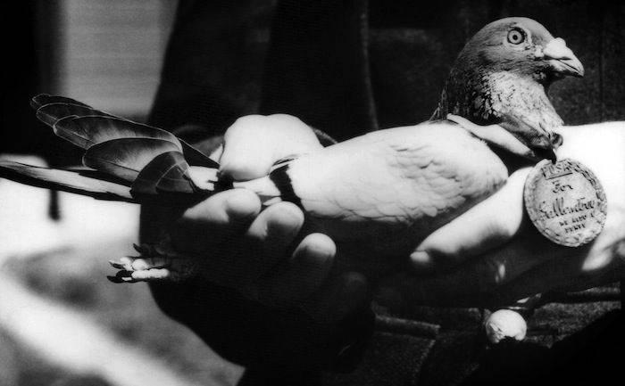Porumbel premiat