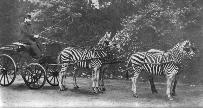 Rothchild - Curiozitati despre zebre 02
