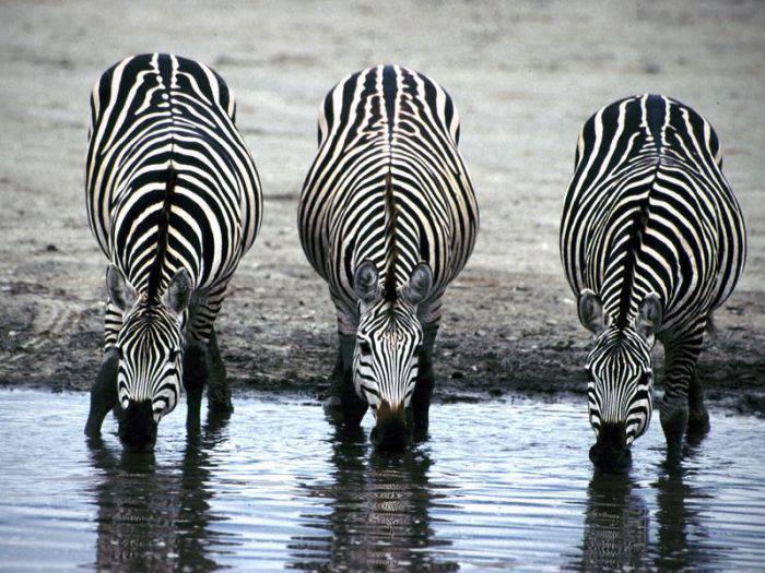 Trei zebre