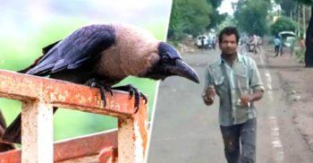 Un stol de ciori a atacat trei ani un om în mâinile căruia a murit un pui de pasăre