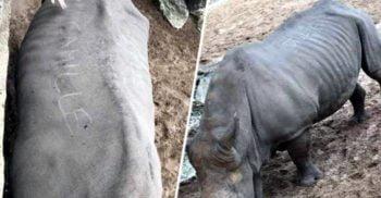 Vizitatorii unui zoo din Franța și-au scrijelit numele cu unghiile pe spatele unui rinocer