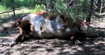 În SUA au fost descoperiți tauri cu organele sexuale tăiate și complet secătuiți de sânge