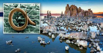Într-un lac din SUA a fost descoperit un vierme cu trei sexe, ultrarezistent la arsenic