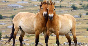 """Caii Przewalski: 10 lucruri interesante despre ultimii cai """"sălbatici"""" de pe Pământ"""