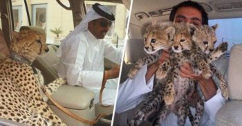 Adio, gheparzi! Fițele bogaților din Orientul Mijlociu ar putea cauza dispariția speciei