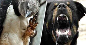 Harpia, o pasăre teribilă: Are gheare mai puternice decât fălcile unui Rottweiler