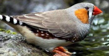 Premieră în știință: Au implantat amintiri false unor păsări pentru a le învăța cântece noi