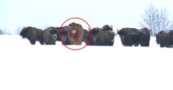 În Polonia, o vacă a fugit de la fermă și s-a alăturat unui grup de zimbri