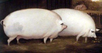 8 curiozități despre porci, animalele pe care le-am domesticit de două ori