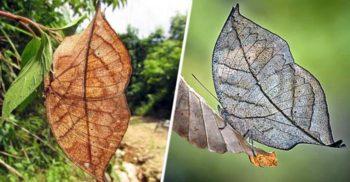 Aceste frunze moarte sunt, de fapt, fluturi perfect camuflați